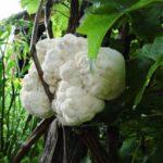 Bio-Pompom blanc