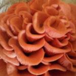 Die Schönheit eines Pilzes - Rosenseitling